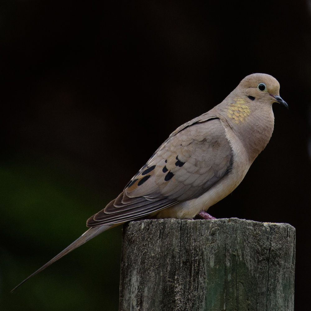Mourning dove puffing out its throat while cooing