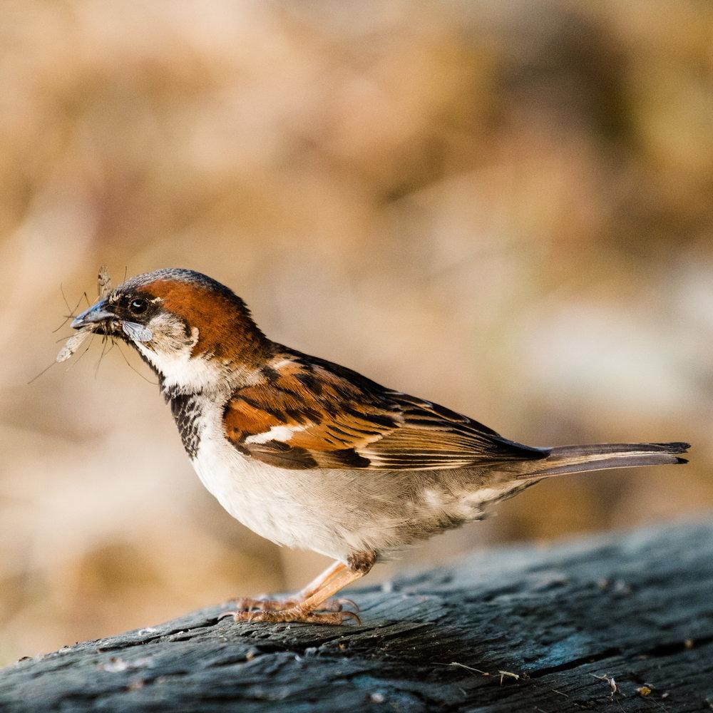 House sparrow having a snack
