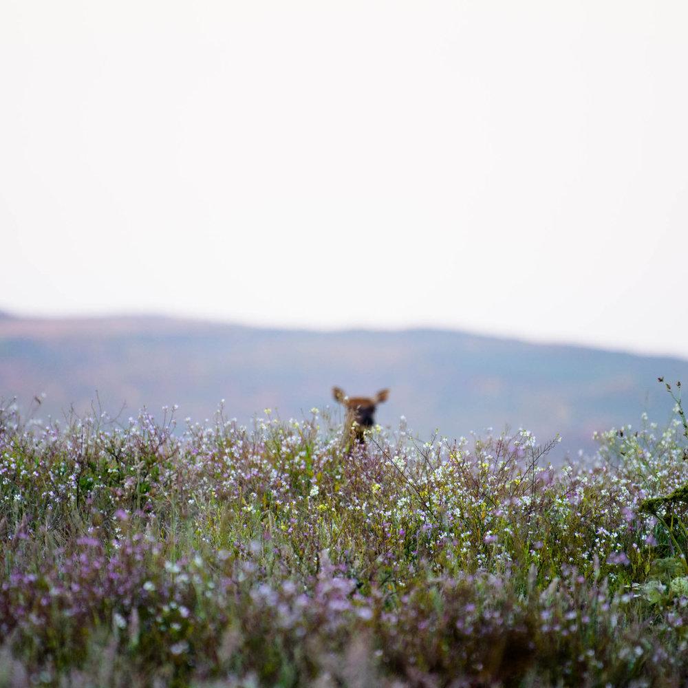 Tule elk peaking out from behind vegetation