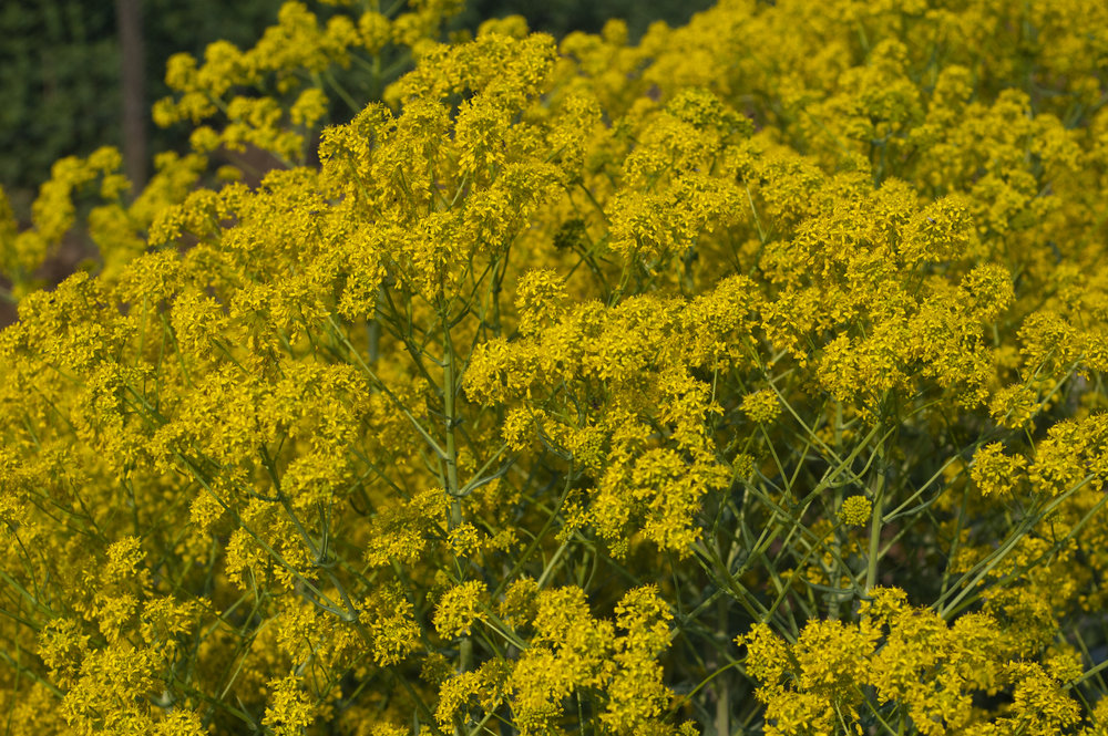 Woad plants, photo by Alpus.