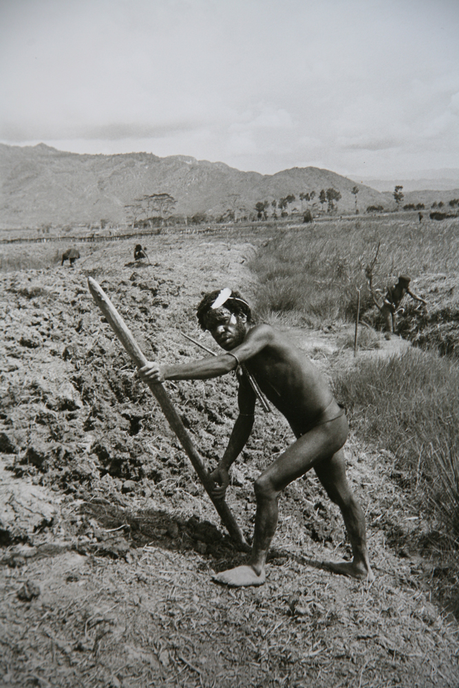Turning soil for sweet potato crop, Baliem Valley, West Irian Jaya, Indonesia 1971