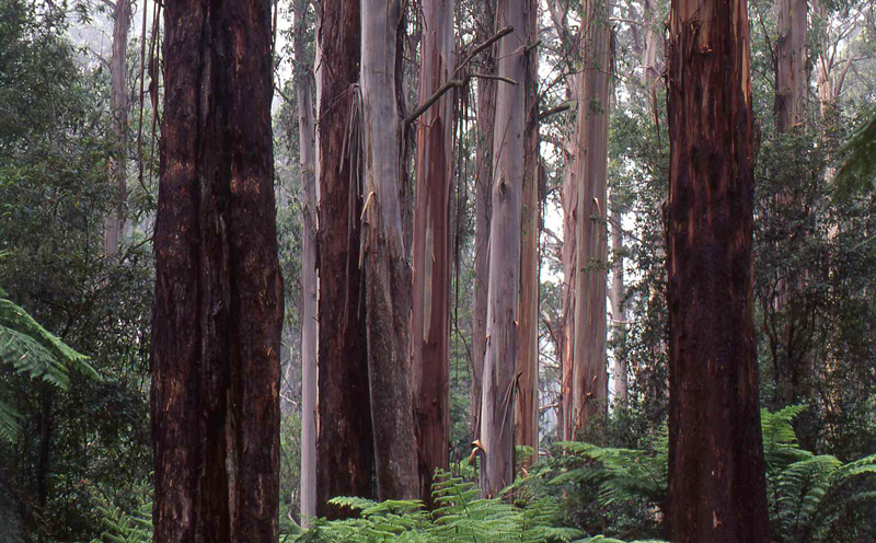 Mountain Ash forest, Victoria.