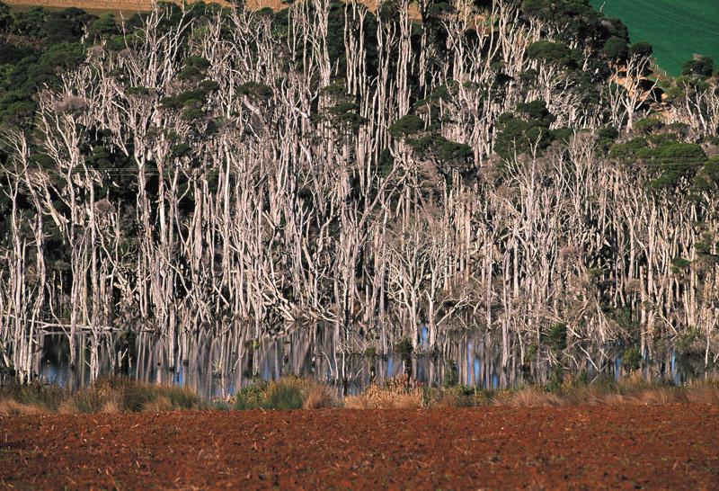 Paperbark trees, Tasmania