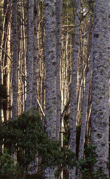 Trees, National Park, Tasmania.