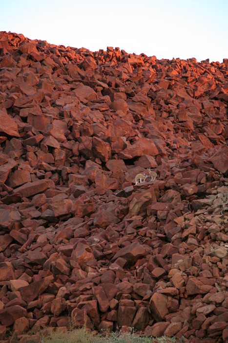 Wallabies on rock, Burrup Peninsula, Pilbara, Western Australia.