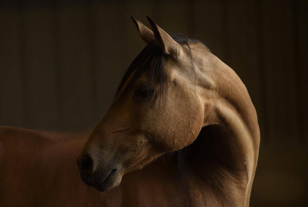 Photo feature: Tupelo,a beautiful buckskin,Andalusian-Arabian dream horse, who boards at Trinity.Photo Credit: Tony Stromberg