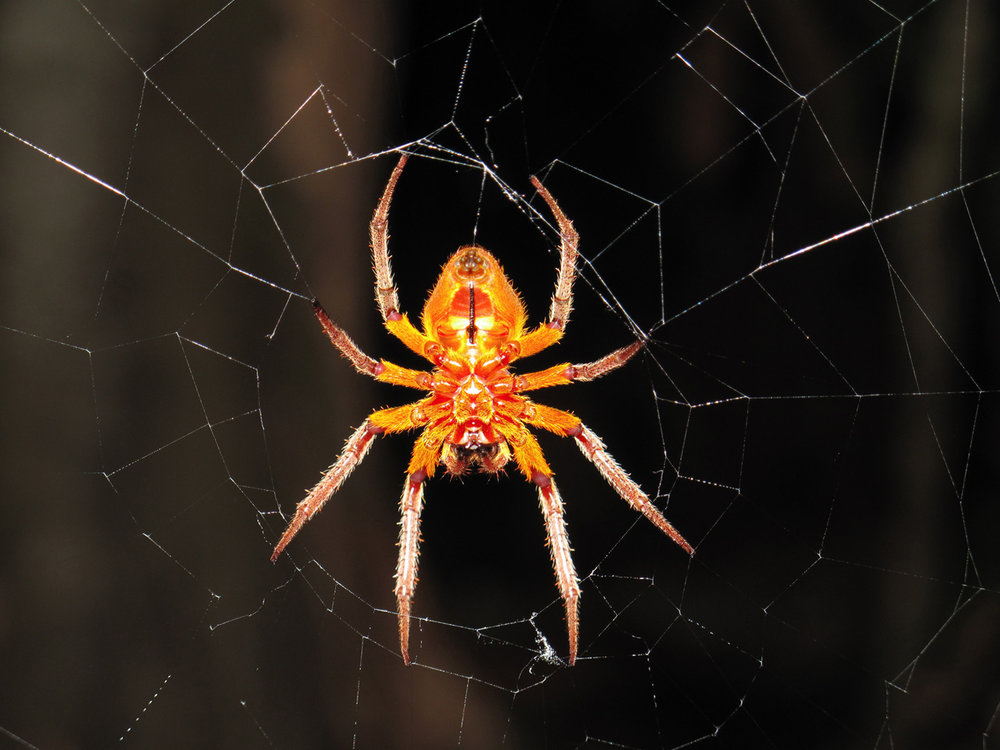 Big orange spider
