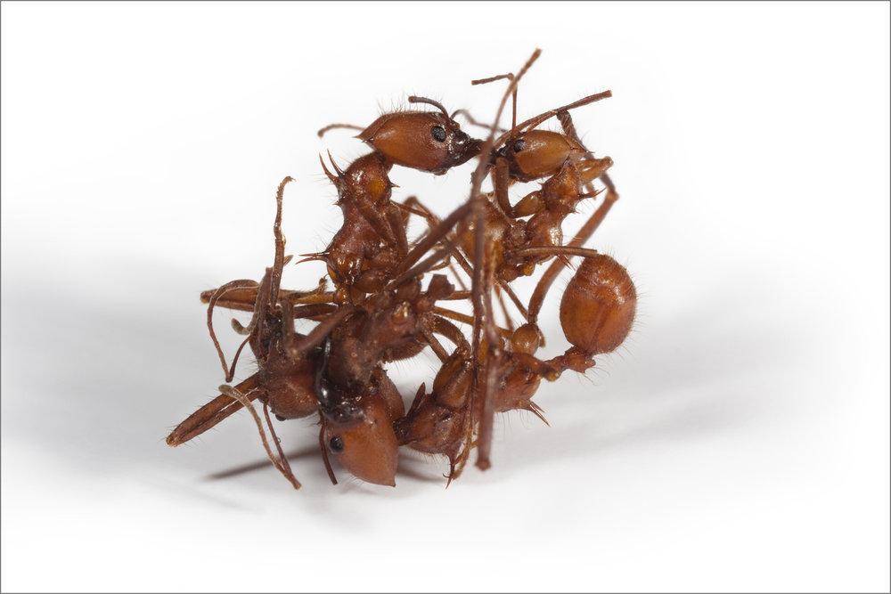 ant_War_1_4pxgray.jpg