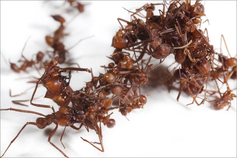 ant_War_2_4pxgray.jpg
