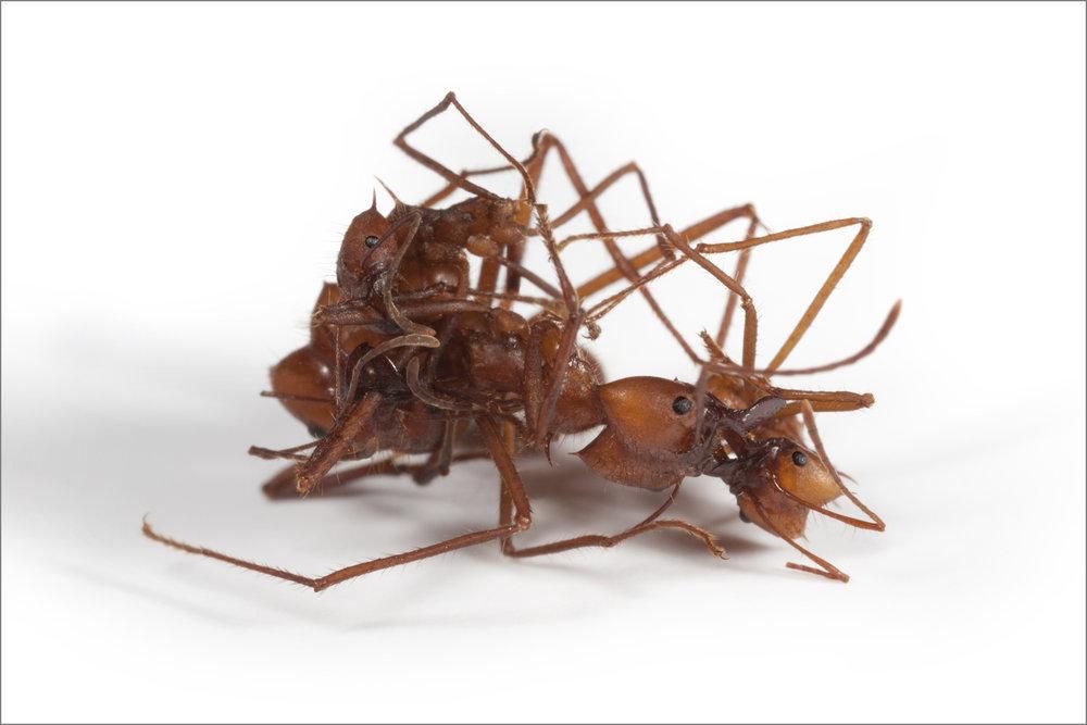 ant_War_7_4pxgray.jpg