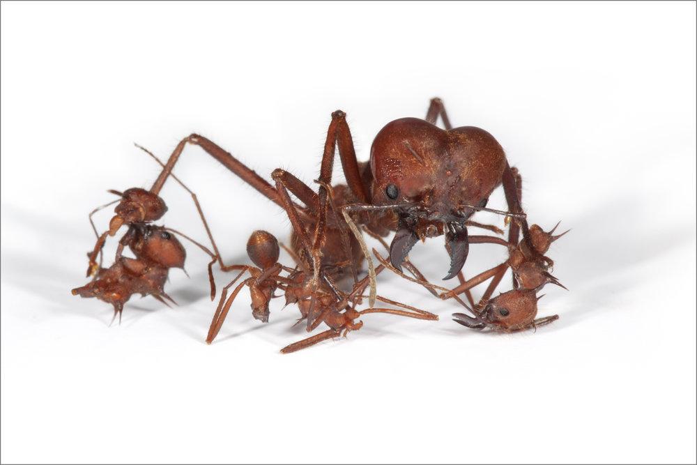 ant_war_15_4g.jpg