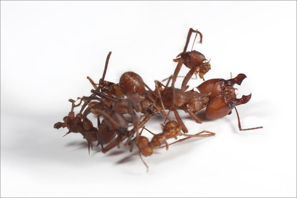 ant_War_8_ 4pxgray.jpg