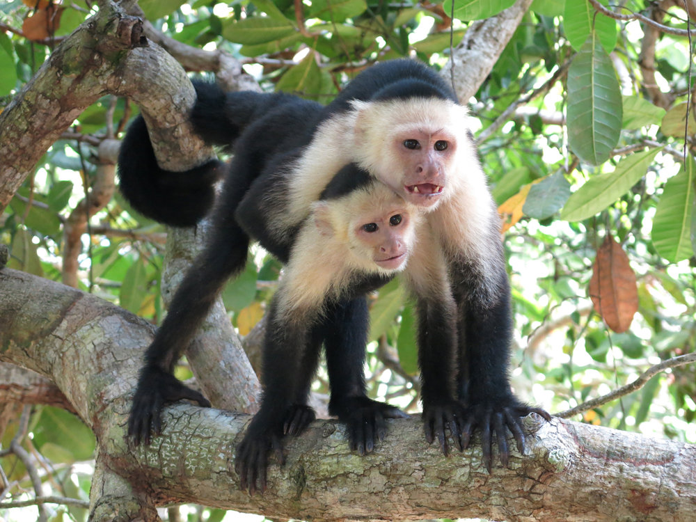 Capuchins, Costa Rica