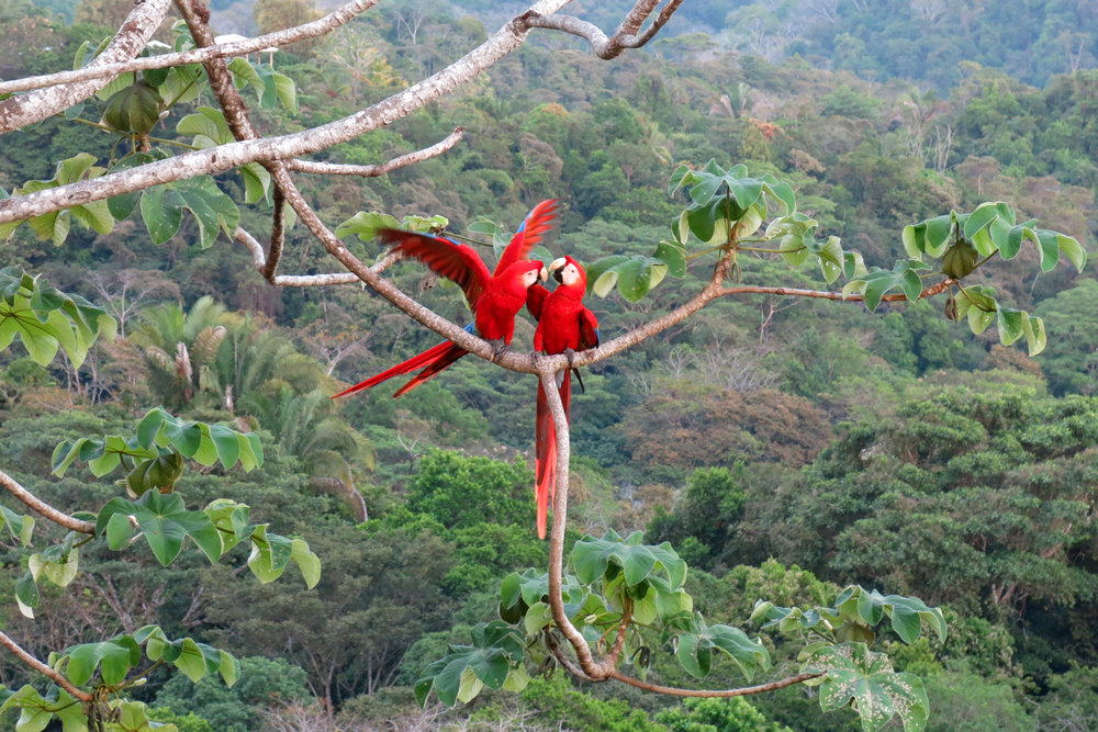 Scarlet macaws, Costa Rica