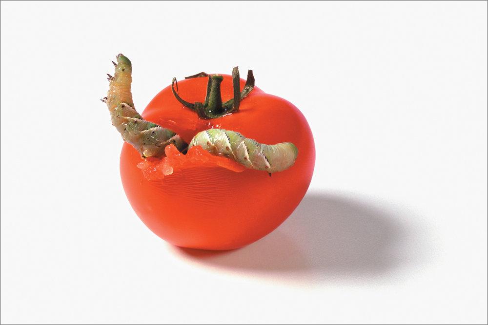 fc_tomato3_4g.jpg