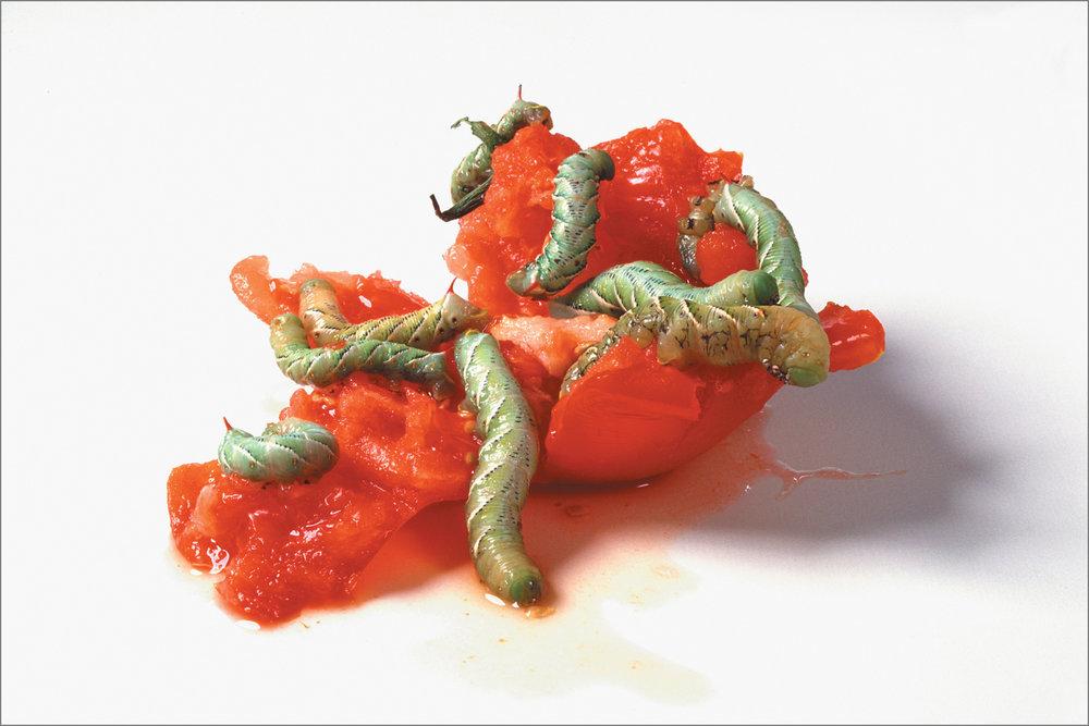 fc_tomato6_4g.jpg