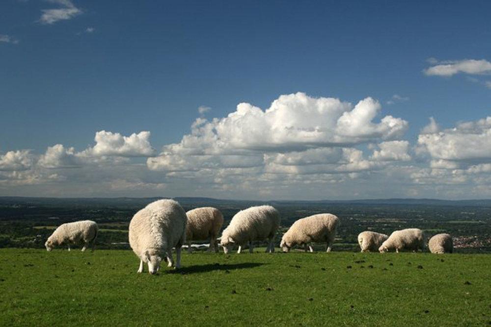 Short-Story-Preincarnation-Sheep-grazing.jpg