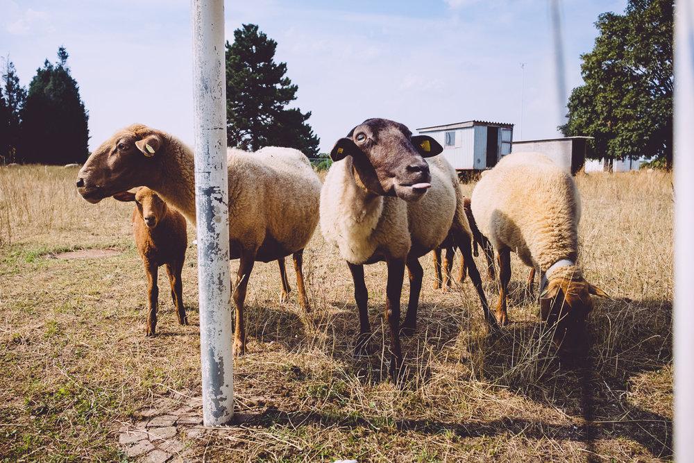 220/365 Sheep