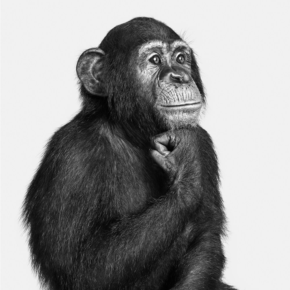 Chimp_01_BW_8X10.jpg