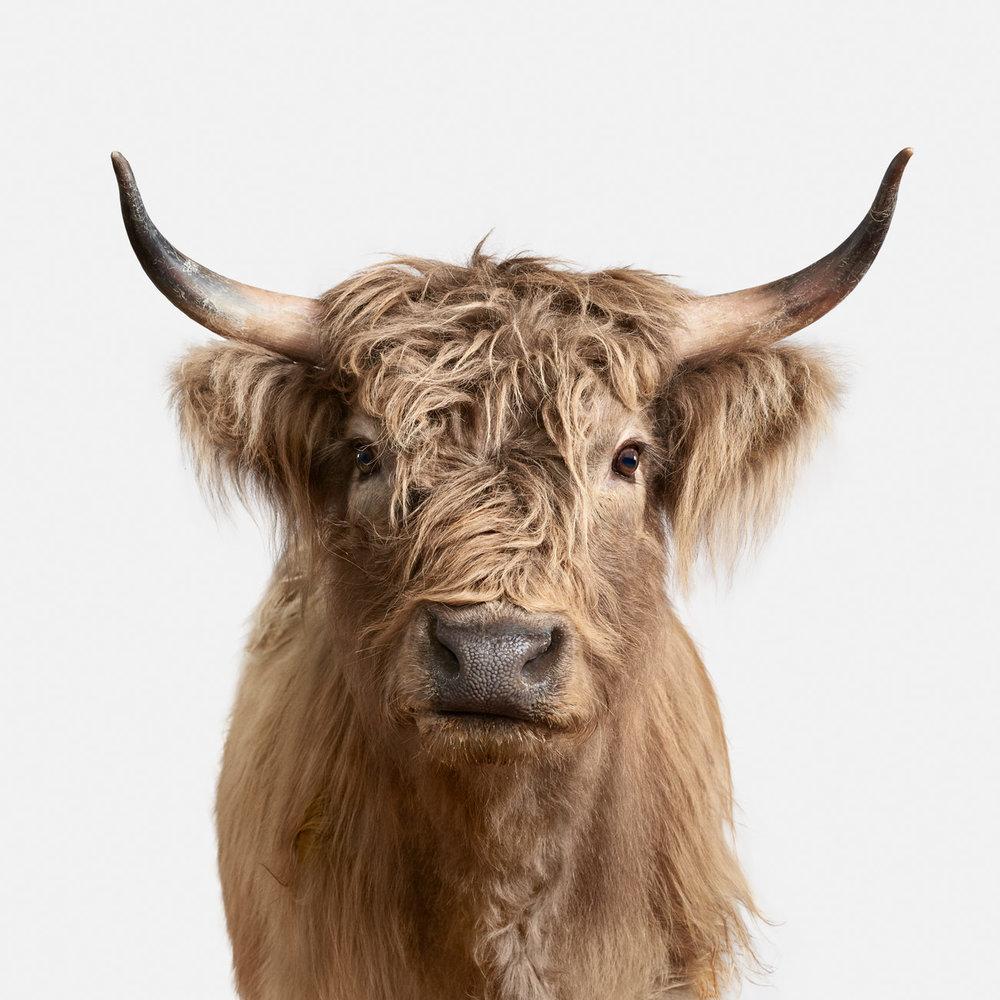 Highland_Cow_2_43x43.jpg