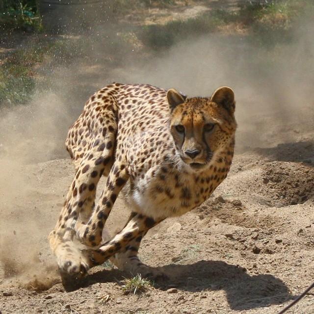 Cheetah-%28Salsa%29.jpg