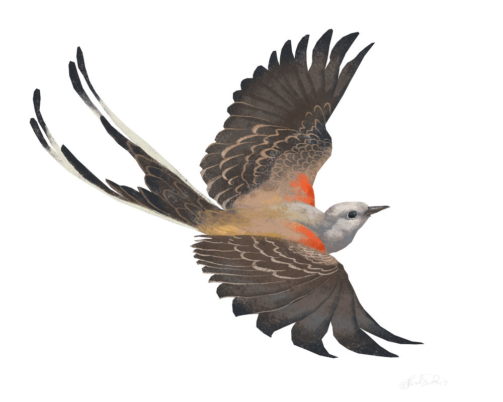 Scissor-tailed Flycatcher.jpg