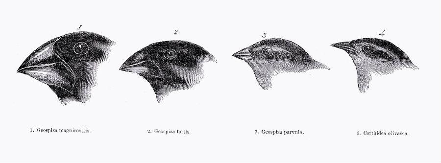 Darwin'sFinches.jpg