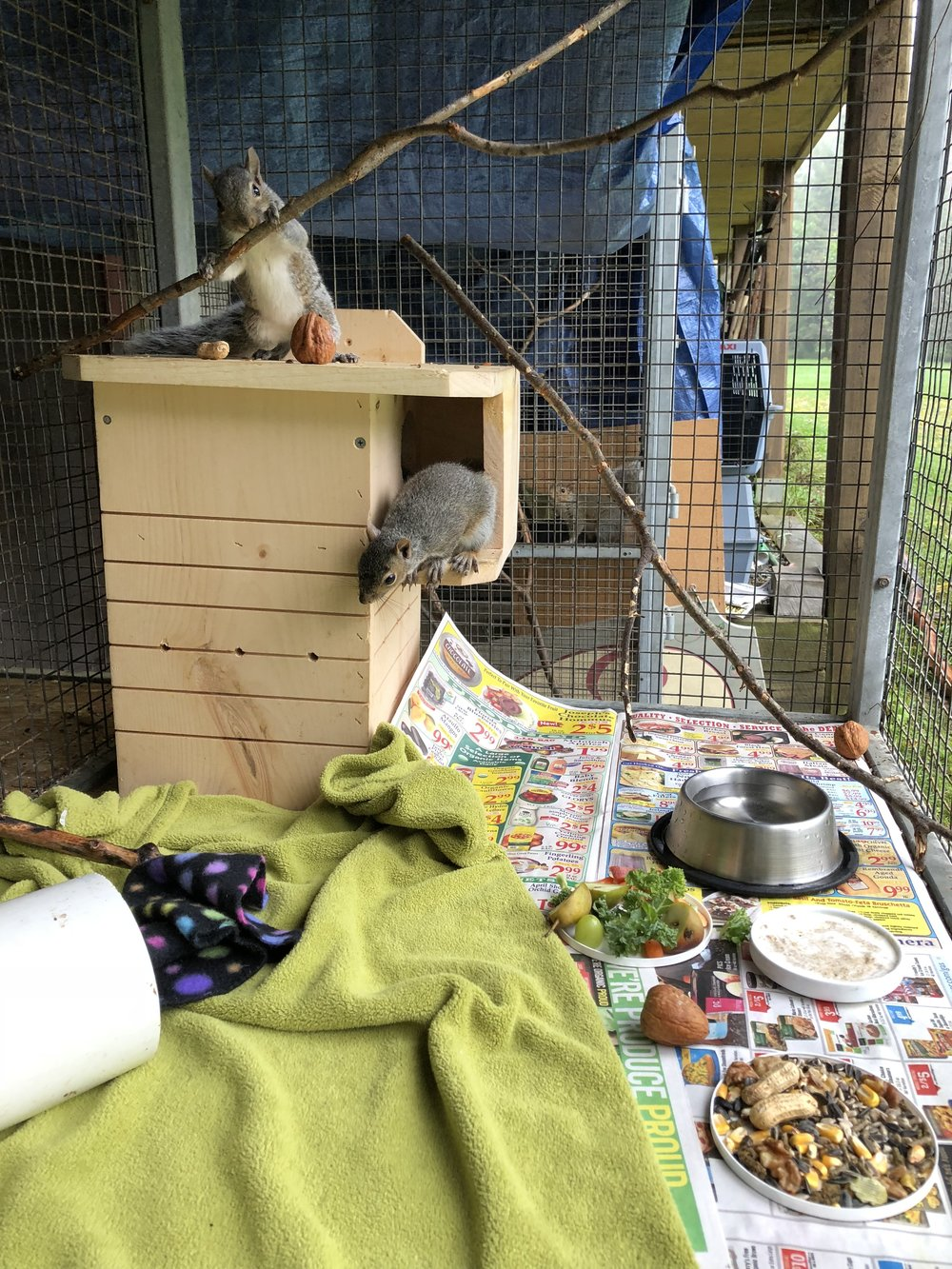 Eastern grey squirrel orphans enjoying their first day outside in a new nest box. This box will eventually accompany them into their forever wild release site, making their transition easier.
