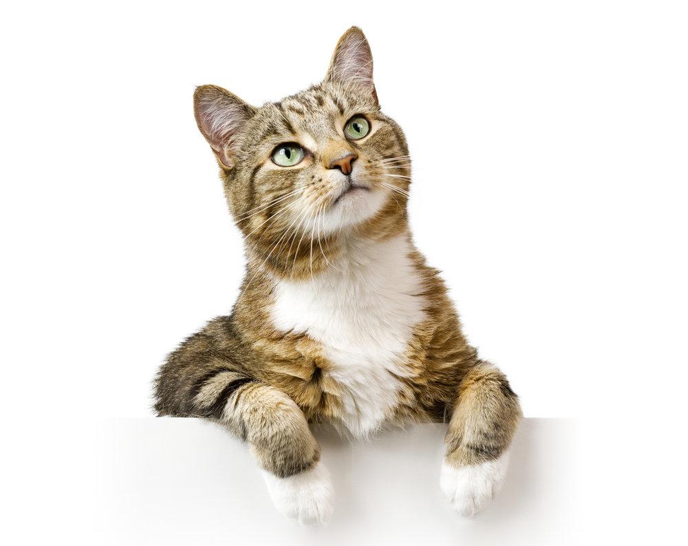 cat-adoptions1.jpg