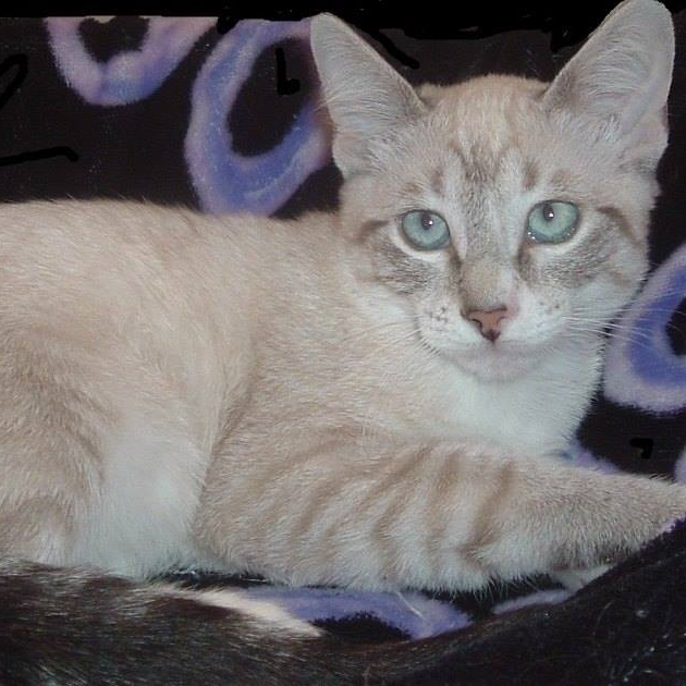 Snow   Siamese mix female - DOB 3/25/28  Snow is so gorgeous, pictures don't do her justice. Snow loves to play games with her sister Star and is friendly and cuddly.