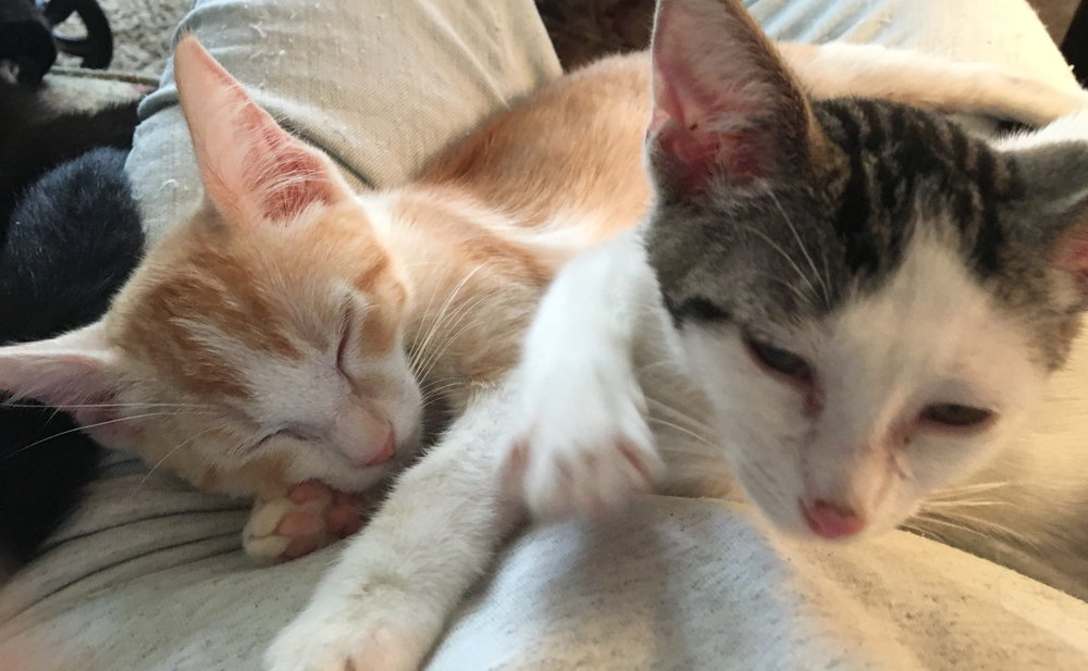 Angie (left) & Pebbles (right)   Meet Angie and Pebbles. They are siblings, best friends and would love to be adopted together. Both are very Playful and loving. They love to sleep together in your lap. Angie and Pebbles are spayed, micro-chipped and current with vaccinations.