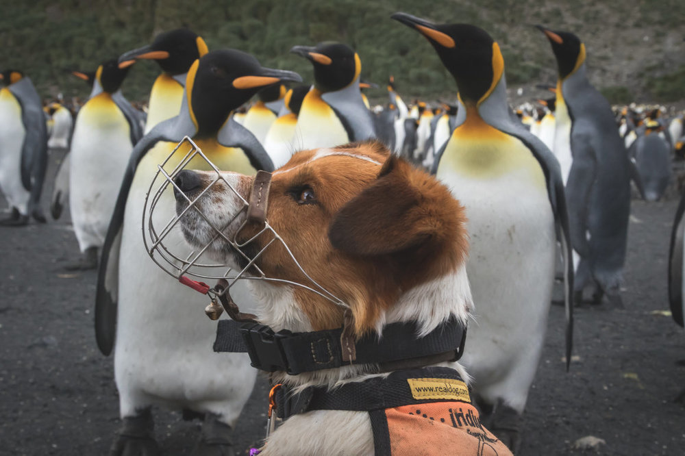 The Intrepid, Rat-Sniffing Terriers of South Georgia Island