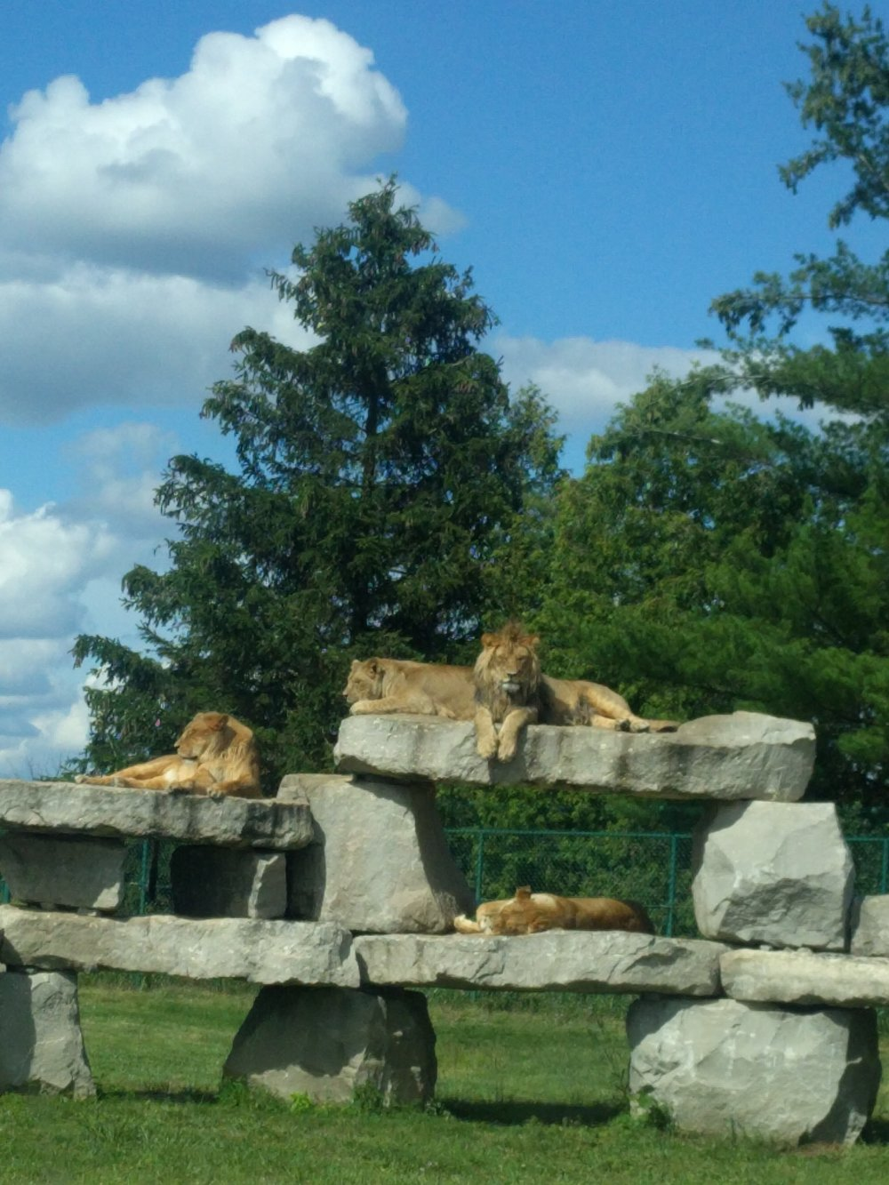 a lion pride we got to see on Safari in Canada