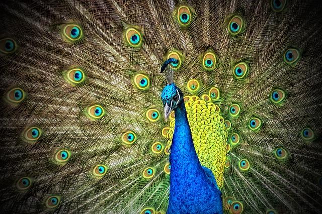 peacock-50515_640-1.jpg