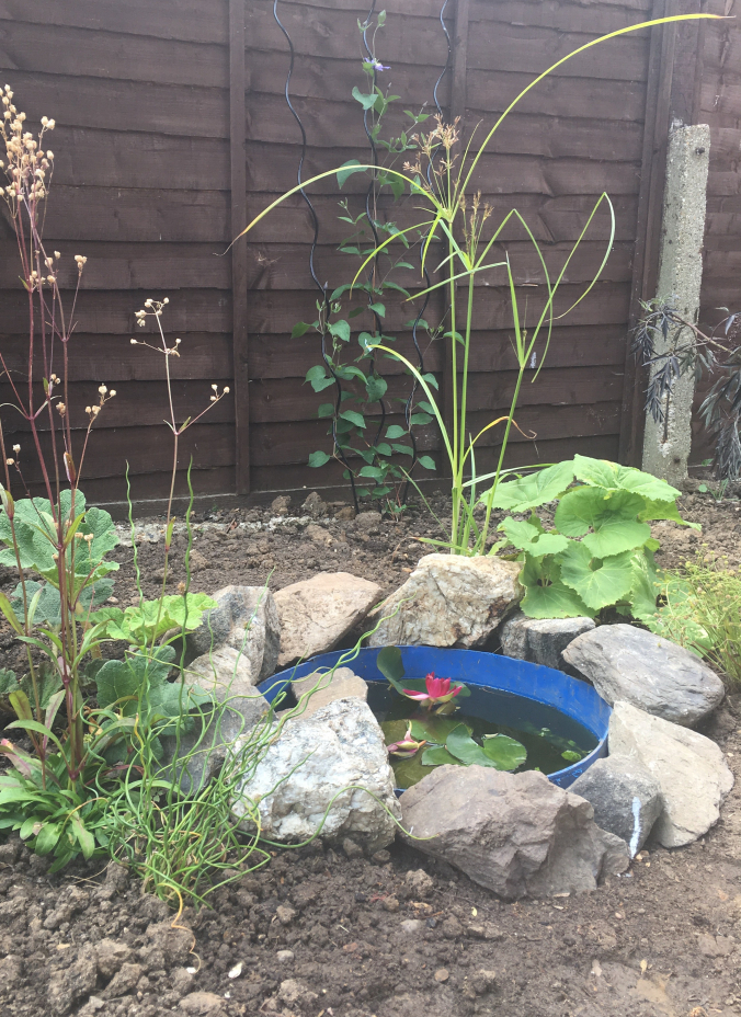 The small wildlife pond I planted earlier this year, with Gunnera manipulate, Petasites japonica, Lynchnis flos-cuculi, Juncus effuses spiralis, Cyperus longus and Baldellia ranunculoides
