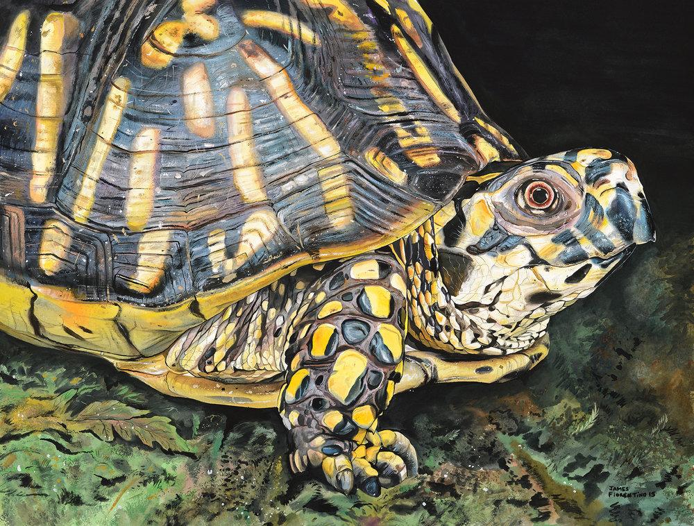 Eastern Box Turtle - ATDF.jpg