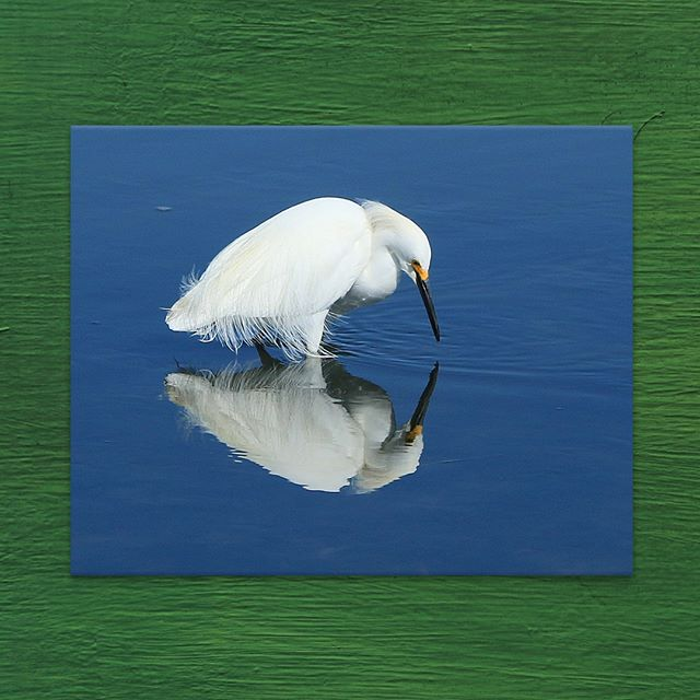 "Tranquil shot captured by #photographer Bob Geremia 🙏  From the artist: ""Another beautiful day at the Edwin B. Forsythe Wildlife Refuge in NJ. The early morning stillness and the beautiful blue sky allowed me to capture this Snowy Egret fishing for its breakfast and not concerned about me hidden in the bush. I always remember to never invade an animal's space."" Shop the photo print through the #linkinbio ✨ . . . . . #egret #snowyegret #birdwatching #birdphotography #wildlife #wildlifephotography #naturephotography #nature #wildliferefuge #refuge #edwinbforsythe #nationalparks #stateparks #protectedlands #photograph #photography #photographersofinstagram #artistsofinstagram #artsales #artleasing #fineart #arttodreamfor"