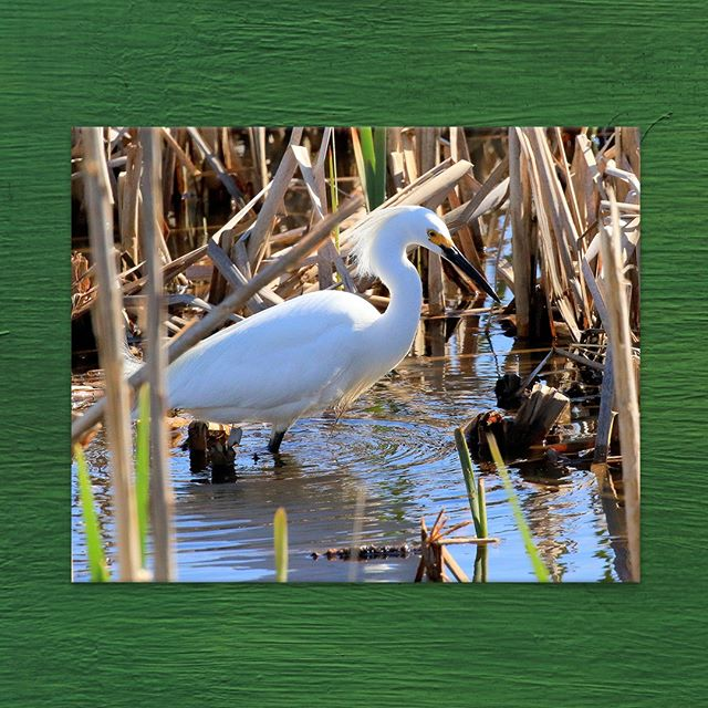 "#ATDF Artist #BobGeremia describes the process behind this beautiful shot: ""I captured this guy at the Edwin B. Forsythe Wildlife Refuge; just taking its time fishing among the reeds. It was a beautiful day with a great subject but I was only able to catch a shot of him when he finally wandered into the light. Patience is a virtue and it paid off in this instance!"" 🌟  Purchase or lease this 11 x 14 in. Photograph for your home or office space 👉 #LinkInBio . . . . . #EdwinBForsythe #WildlifeRefuge #Refuge #Wildlife #ConserveWildlife #WildlifeArt #WildlifePhotography #Photography #PhotographersOfInstagram #ArtistsOfInstagram #FineArt #ArtToDreamFor #ArtVendor #ArtSales #ArtLeasing #BirdWatching #Bird #SnowyEgret #Egret #Patience"
