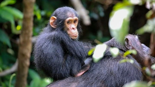 Lake Shore Lodge Tz - Lake Tanganyika - Adventure Safaris - Mahale NP - Baby chimp riding on mummy's back - photo from Julie & Billy.jpg