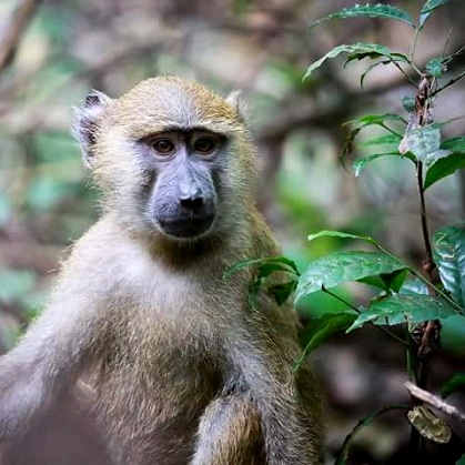 Lake Shore Lodge Tz - Lake Tanganyika - Adventure Safaris - Mahale NP - Baboon baby - photo from Julie & Billy square.jpg