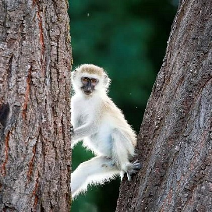 Lake Shore Lodge Tz - Lake Tanganyika - Adventure Safaris - Mahale NP - Vervet monkey - photo from Julie & Billy square.jpg