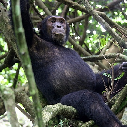 Lake Shore Lodge Tz - Lake Tanganyika - Adventure Safaris - Mahale NP - Chimp in a tree.jpg