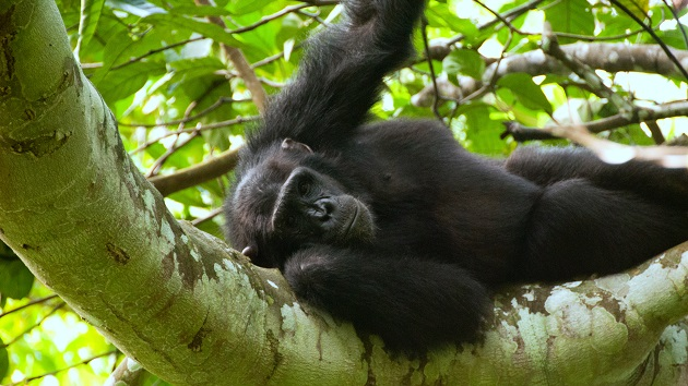 Lake Shore Lodge Tz - Lake Tanganyika - Adventure Safaris - Mahale NP - Chimp.jpg