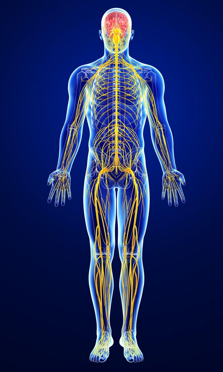male-nervous-system-artwork-168837900-578117135f9b5831b57baa42.jpg