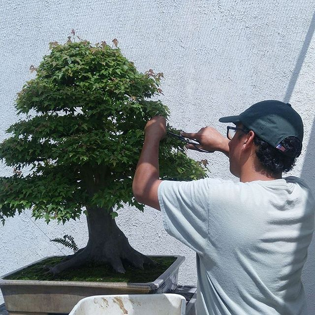 Check out the latest blog post from our 2018 intern, David Rizwan. Follow along as David documents his life as an apprentice at the National Bonsai & Penjing Museum. This week's challenge: Tackling rapid growth on trees sparked by the humid D.C. weather! Link in bio.