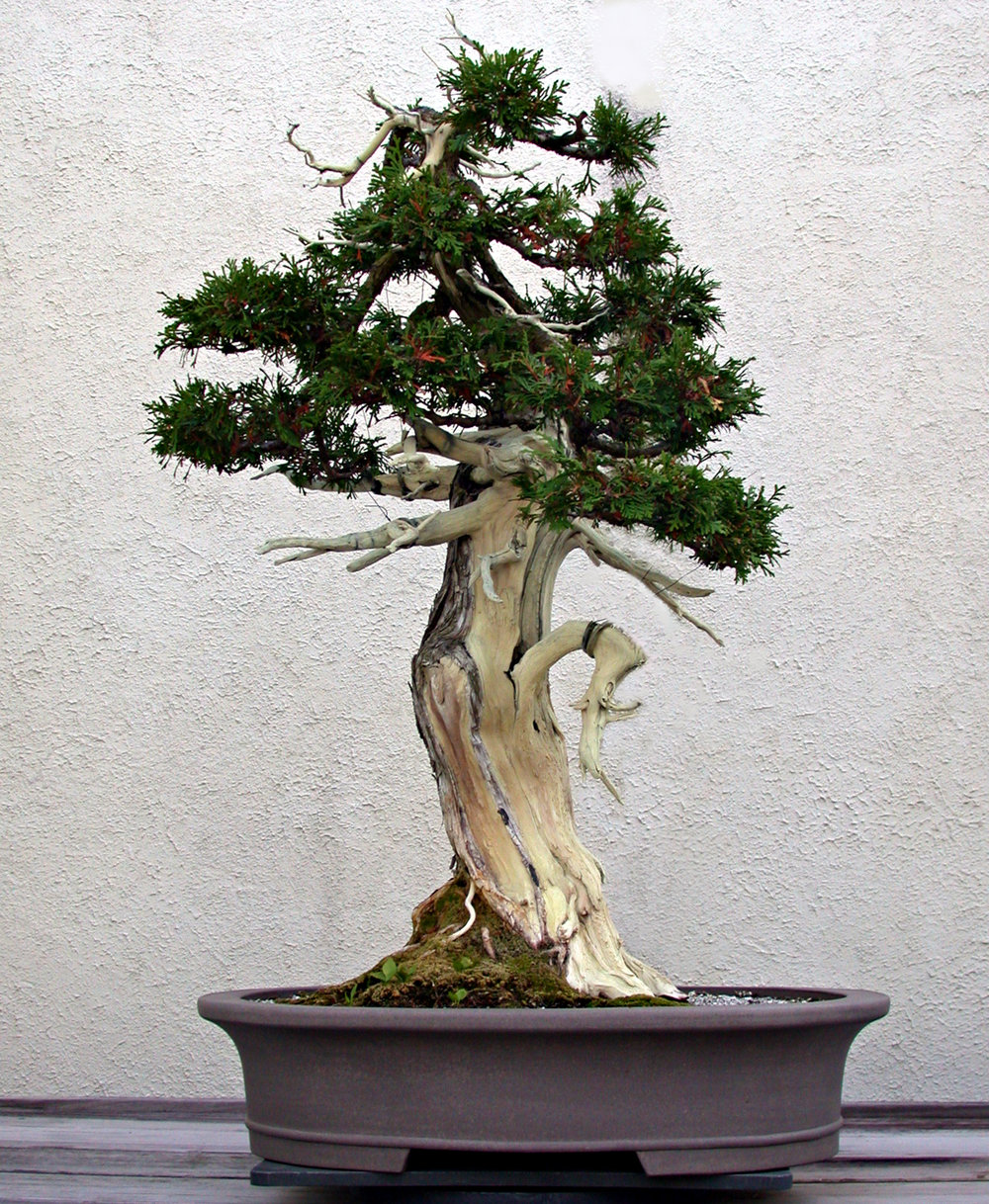 Northern White-cedar