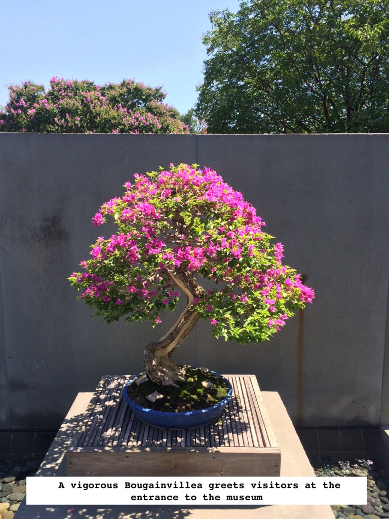 Bougainvillea-Beauty--768x1024.jpg