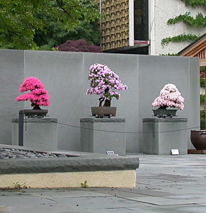 Azalea bonsai in the courtyard