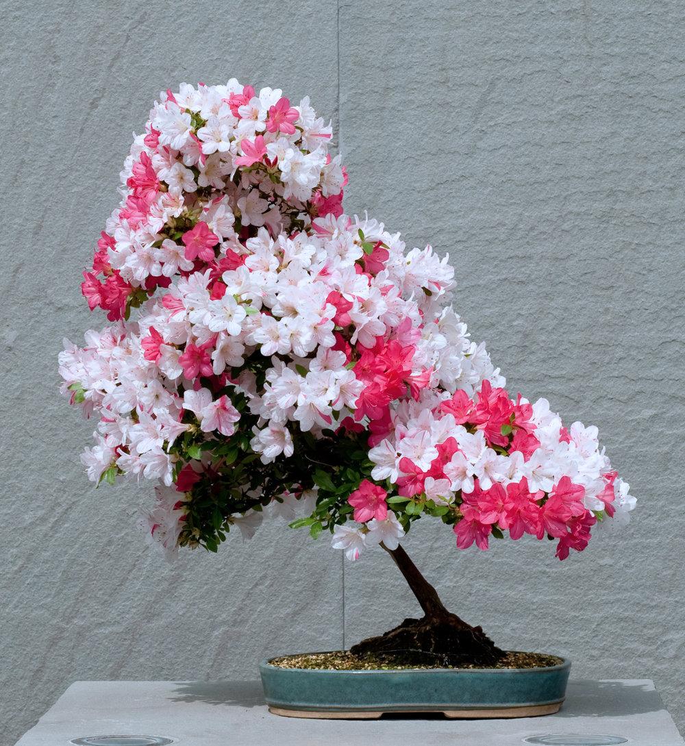Azalea bonsai (3).jpg