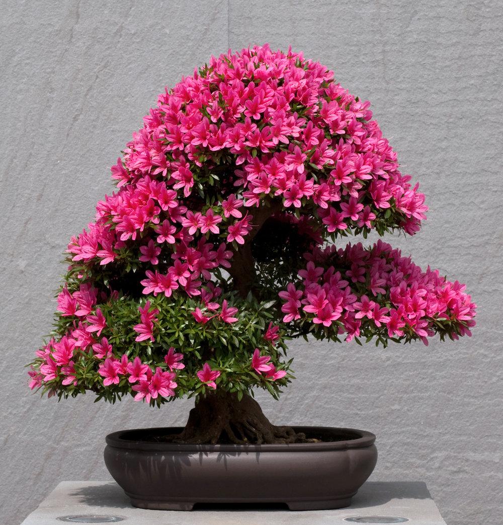Azalea bonsai (4).jpg